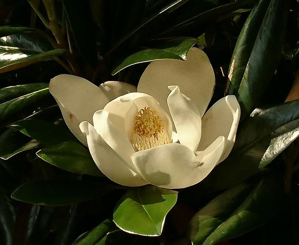 泰山木開花