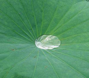 蓮の葉と水
