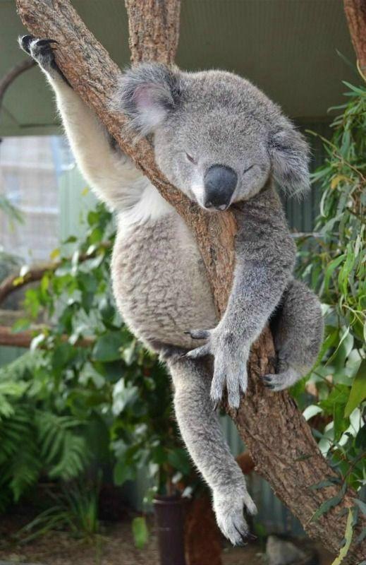 コアラ 寝る
