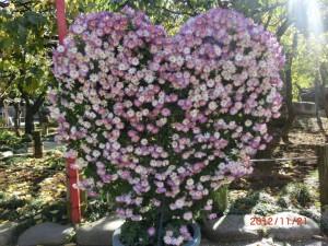 菊の花ハート