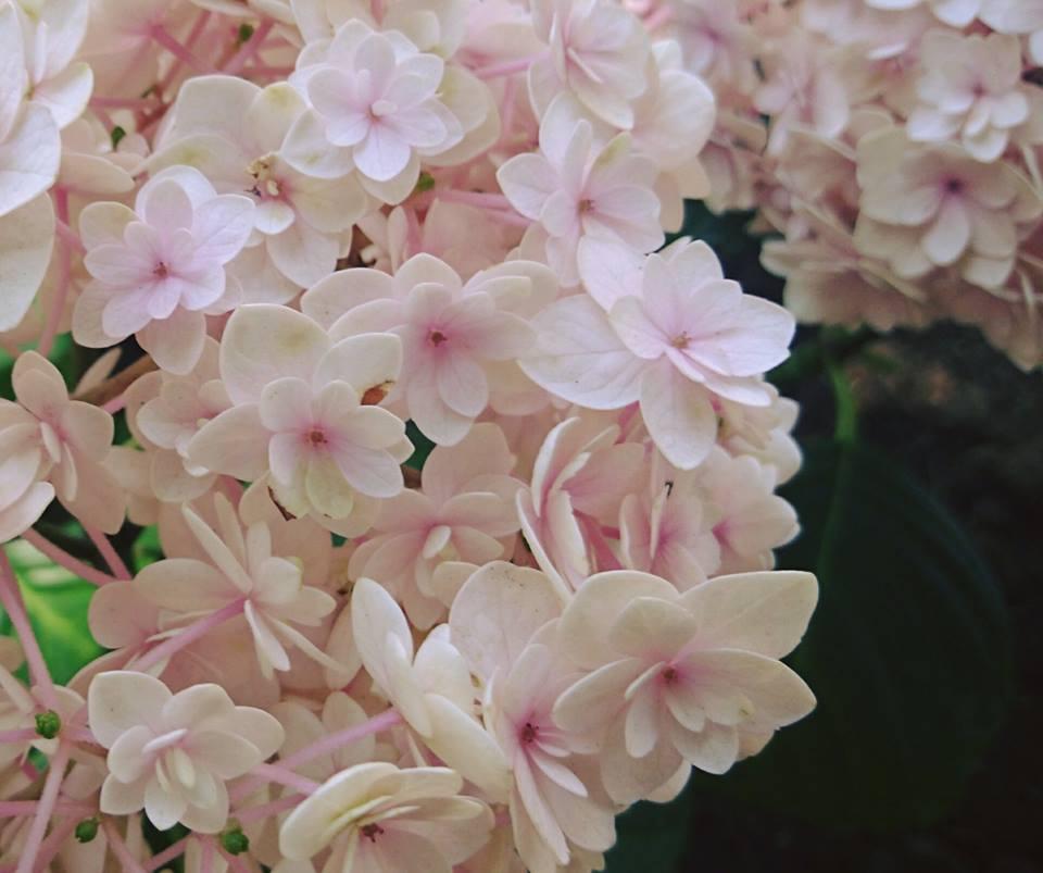 紫陽花ピンク