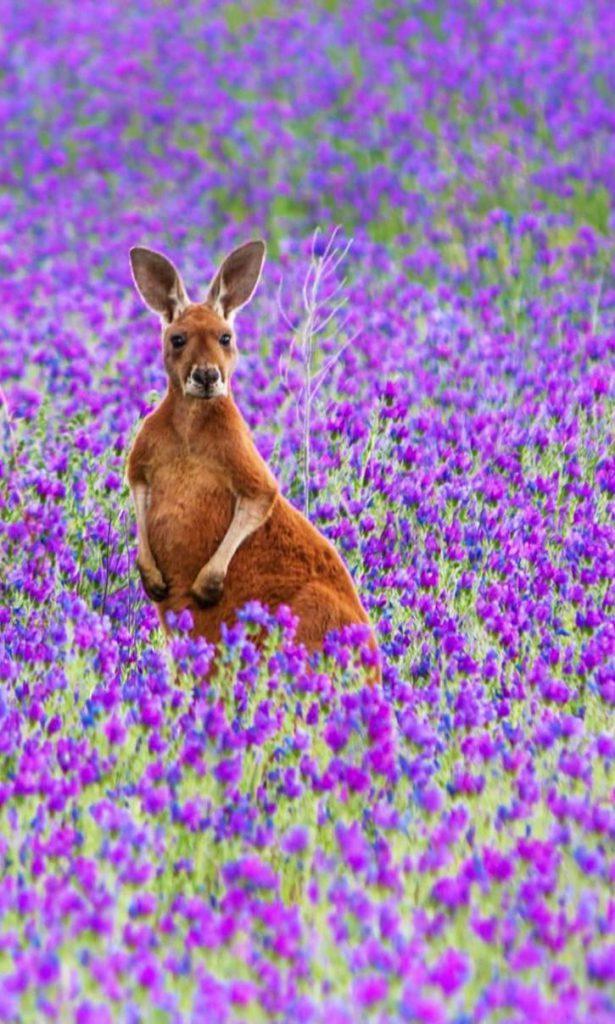 カンガルーと花